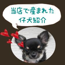子犬情報のイメージ